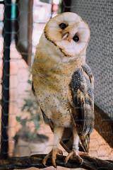 cutest owl on earth (Rebeca Campagnoli) Tags: owl coruja das masked barnowl torres catlica 2015 tytonidae suindara exploflora rasgamortalha