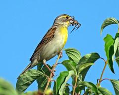 IMG_0408 (lbj.birds) Tags: bird nature wildlife kansas flinthills dickcissel