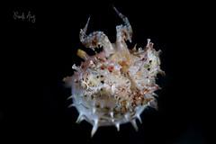 Juvenile cuttlefish (Randi Ang) Tags: macro canon indonesia photography eos underwater north dive scuba diving ang cuttlefish juvenile sulawesi strait randi lembeh 6d utara bitung