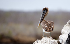 Master of all he surveys . . . Galapagos-20140714-1620-BK2W2900-Edit (Swaranjeet) Tags: pelican pelicans galapagos ecuador bird largebirds july2014 canon fullframe 1dx eos1dx dslr sjs swaran swaranjeet swaranjeetsingh sjsvision sjsphotography swaranjeetphotography 2014 eos canoneos1dx 35mm ef pro 200400 canonef200400mm canonef200400mmf4lisusm14x singh photographer thane mumbai india indian