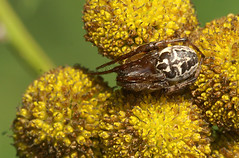 Larinioides cornutus (henk.wallays) Tags: macro nature closeup spider europa belgium wildlife arachnid spin natuur location 1999 westvlaanderen date arthropoda aaaa araigne vlaanderen araneidae arachnidae bellem larinioidescornutus rietkruisspin henkwallays kanaalbermenbellem