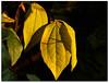 Autumnal changes! (macfudge1UK) Tags: uk greatbritain autumn england tree nature leaves leaf bush flora europe gb s1 shrub oxfordshire oxon 2015 finepixs1 fujis1 fantasticnature ©allrightsreserved naturethroughthelens bbcautumnwatch fujifilmfinepixs1 fujifinepixs1