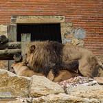 Lions mating thumbnail