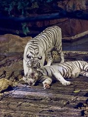 White tigers (nexotal) Tags: china white tiger whitetiger lick