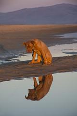 My boy! (Larrie Barlow) Tags: sunset dog beach de bordeaux barlow dogue larrie doguedebordeaux