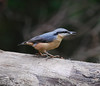 A Nuthatch feeding .... (Halliwell_Michael ## Offline mostlyl ##) Tags: autumn trees birds feeding nuthatch westyorkshire songbird brighouse 2015 coth cromwellbottom nikond40x coth5