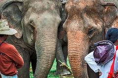 CM-elephant 01 (kuenhua) Tags: travel love tourism nature thailand sweet chiangmai elephants ecotourism elephantnaturepark elephantshelter