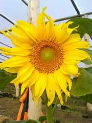 El sol en la huerta!!! (gualbertomagallanes01) Tags: girasol flres productosorganicos