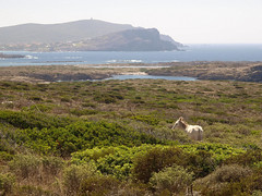 Dall'isola Asinara (Simone Onorati) Tags: sardegna sea island mediterranean mare sardinia donkey isola asino macchiamediterranea