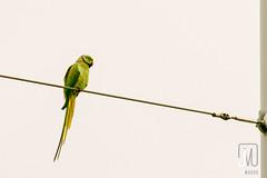 Parrot in a City (Jim Makos) Tags: sky bird animal colorful parrot cable pole thessaloniki timeless makedonia  macedoniagreece