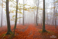 Jesenska preproga (andrej.bogataj) Tags: jesen gozd rdeča listje bogataj decop