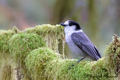 Gray jay - IMG_6230 (arvind agrawal) Tags: bird jay wildlife gray wa olympicnationalpark hohrainforest grayjay greyjay perisoreuscanadensis whiskeyjack canadajay