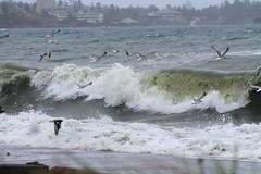 Fishing the fun way (KaseyEriksen) Tags: ocean seagulls beach fishing waves gulls victoria esquimalt