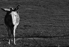 the sad donkey (adrizufe) Tags: bw animals nikon alone sad donkey bn triste burro solo basquecountry arrazola atxondo durangaldea nikonstunninggallery aplusphoto d7000 adrizufe adrianzubia