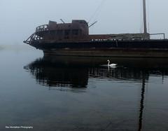 swans in a fog (Rex Montalban Photography) Tags: fog swan niagara jordanstation rexmontalbanphotography