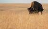 Too close for comfort! (Browtine1) Tags: nature grass animals canon buffalo wildlife bull national american kansas prairie bison grassland ungulate preserve tallgrass 100400l 70d