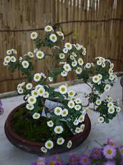 Kiku (Chrysanthemum × morifolium) (s.itto) Tags: november autumn white bonsai chrysanthemum herbaceous asterceae