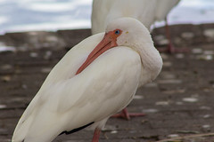 White Ibis (Vimlossus) Tags:
