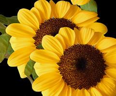 Sunflowers and sunflowers... (denise.bardauil) Tags: sunflower flower nature plant nikon