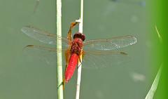 Feuerlibelle, rocothermis erythraea (staretschek) Tags: feuerlibelle crocothermiserythraea segellibelle rotelibelle groslibelle libelledesjahres2011