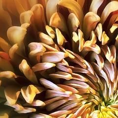 an echo . . . (Janine Graf) Tags: flower fall loss sad empty echo dalia mygirl shockmypic janinegraf snapseed iphone5s beinghumansuckssometimes
