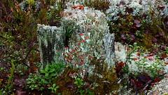 A lichen-covered stump (Ollila, Vihti, 20151115) (RainoL) Tags: november autumn forest finland geotagged nationalpark stump lichen fin ollila cladonia uusimaa 2015 nyland vihti cladina vichtis nuuksionationalpark 201511 20151115 geo:lat=6032507697 geo:lon=2454457167