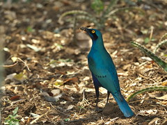 Greater Blue-eared Starling (Lamprotornis chalybaeus) (Gavin Edmondstone) Tags: southafrica krugernationalpark kruger gx8 lamprotornischalybaeus greaterblueearedstarling