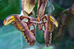 Welcome to your short life (hloklm) Tags: schmetterling schmetterlingshaus biosphärenhalle potsdam metamorphose atlasseidenspinner attacusatlas butterfly