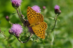 Kaisermantel (Aah-Yeah) Tags: kaisermantel silverwashed silver washed fritillary schmetterling butterfly tagfalter marquartstein achental chiemgau bayern