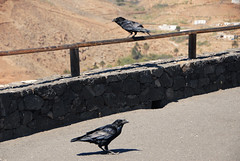 DSC_0429 (RD1630) Tags: fuerteventura canary islands spain outside outdoor nature mountains summer stone stones bird animal