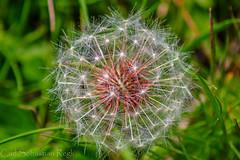 fragile Schnheit (Urschner Br) Tags: blume kturi lwenzahn pusteblume schweiz suisse suiza unteralptal uri urserental fleur flor flower switzerland lwenzahn