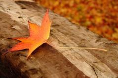 autumn leaf (Jordi sureda) Tags: autumn jordisureda leaf nature naturaleza fotografia photography otoo tardor simple simply bokeh minimalism colors