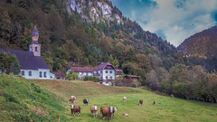 In the Alps (DC P) Tags: alps germany bavaria bayerische alpen landscape serene cow cows clich church building mountain cloud clouds nature destinations locations reiteralm nwn explore green colorful weather canon eos 6d snow panorama wideangle wide landschaft view alpe field grassland little cabin old barn farm herbst valley reiteralpe reiter alm wait for winter high trekking travel bundeslndern bayern tree trees beautiful schneizlreuth outdoor peak hill mountainside autumn colors color fantastic yard hdr