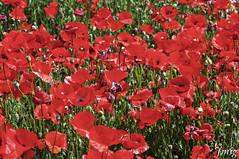 Flor011 (jmig1) Tags: zaragoza nikon d70 flor amapola ababol
