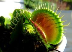Venus Flytrap 286/366 (Hornbeam Arts) Tags: carnivorous plants