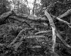 Decaying branches rising from Ferns (Hyons Wood) (Jonathan Carr) Tags: abstract abstraction landscape rural northeast ancientwoodland toyo45a largeformat 4x5 5x4 black white bw monochrome analog ilfordfilm decay decaying tree branch fern
