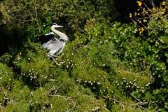 Equilibrio instabile (luporosso) Tags: natura nature naturaleza naturalmente nikond300s nikon airone aironecenerino heron tuesday uccelli uccello bird birds