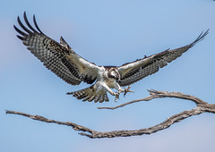 Osprey (Lynn Tweedie) Tags: osprey sky blue branch wood tree browm talons