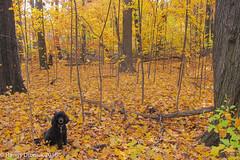 Big trees, little trees & Cole (rdroniuk) Tags: cole dogs trees autumn sedgewickforestoakville
