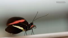 Unknown colored Butterfly | Unbekannte bunte Schnheit (Groer Kurier?) (jensfechter) Tags: elements garten der schmetterlinge garden butterflies schloss castle sayn makro macro