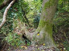 Devil's Dyke, ashtree (debs-eye) Tags: devilsdyke southdowns ash ashtree
