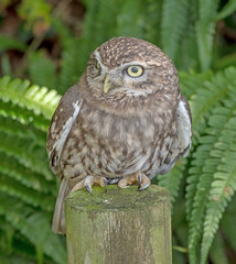 DSC4739  Little Owl.. (jefflack Wildlife&Nature) Tags: littleowl owl owls birds avian wildlife wildbirds woodlands farmland forest moorland heathland hedgerows barns raptors birdsofprey countryside nature