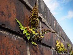 Black Spleenwort (Roger B.) Tags: aspleniumadiantumnigrum blackspleenwort fern sheffield southyorkshire unitedkingdom