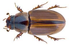 Labarrus pseudolividus Balthasar, 1941 Syn.: Aphodius (Labarrus) pseudolividus Balthasar, 1941 (urjsa) Tags: coleoptera kaefer beetle insect scarabaeidae labarrus pseudolividus labarruspseudolividus namibia afrika africa taxonomy:binomial=labarruspseudolividus taxonomy:order=coleoptera taxonomy:family=scarabaeidae taxonomy:genus=labarrus taxonomy:species=pseudolividus geo:country=namibia coleopteraus insekt käfer taxonomy:family=aphodiidae aphodiidae aphodius taxonomy:genus=aphodius aphodiuspseudolividus