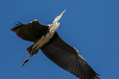 _F0A9128.jpg (Kico Lopez) Tags: ardeacinerea galicia garzareal lugo mio spain aves birds rio mio