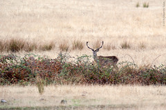 Cervus elaphus (Havock.) Tags: raa cabaeros venado ciervo d700 sigma nikon aft raa cabaeros