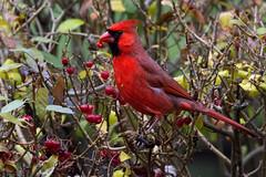 cardinal_8388 (JGKphotos) Tags: d7100 johnkunze bird birds cardinal cardinals
