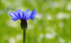 cornflower (spencerrushton) Tags: cornflower blue wisleylilly spencerrushton spencer sun rushton rhs rhswisley wisley plant plantmacro manfrottotripod manfrotto macro flower fleur flor flori fun beautiful blume green grass blueflower garden gardens canon canon760d colour canonl 760d dethoffield walk wood usm100mmgardengardensmanfrottomanfrotto canon100mmf28lmacroisusm efcanon100mmf28lmacroisusm 100mm summer surry