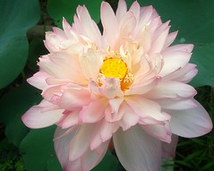 Lotus_02 (Arnab1973) Tags: lotus pinkflower nelumbonucifera flowersofindia