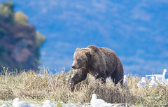 Queen of the Meadow (Rick Derevan) Tags: alaska animals bear brownbear kodiak kodiakbrownbear ursusarctosmiddendorfi ngc